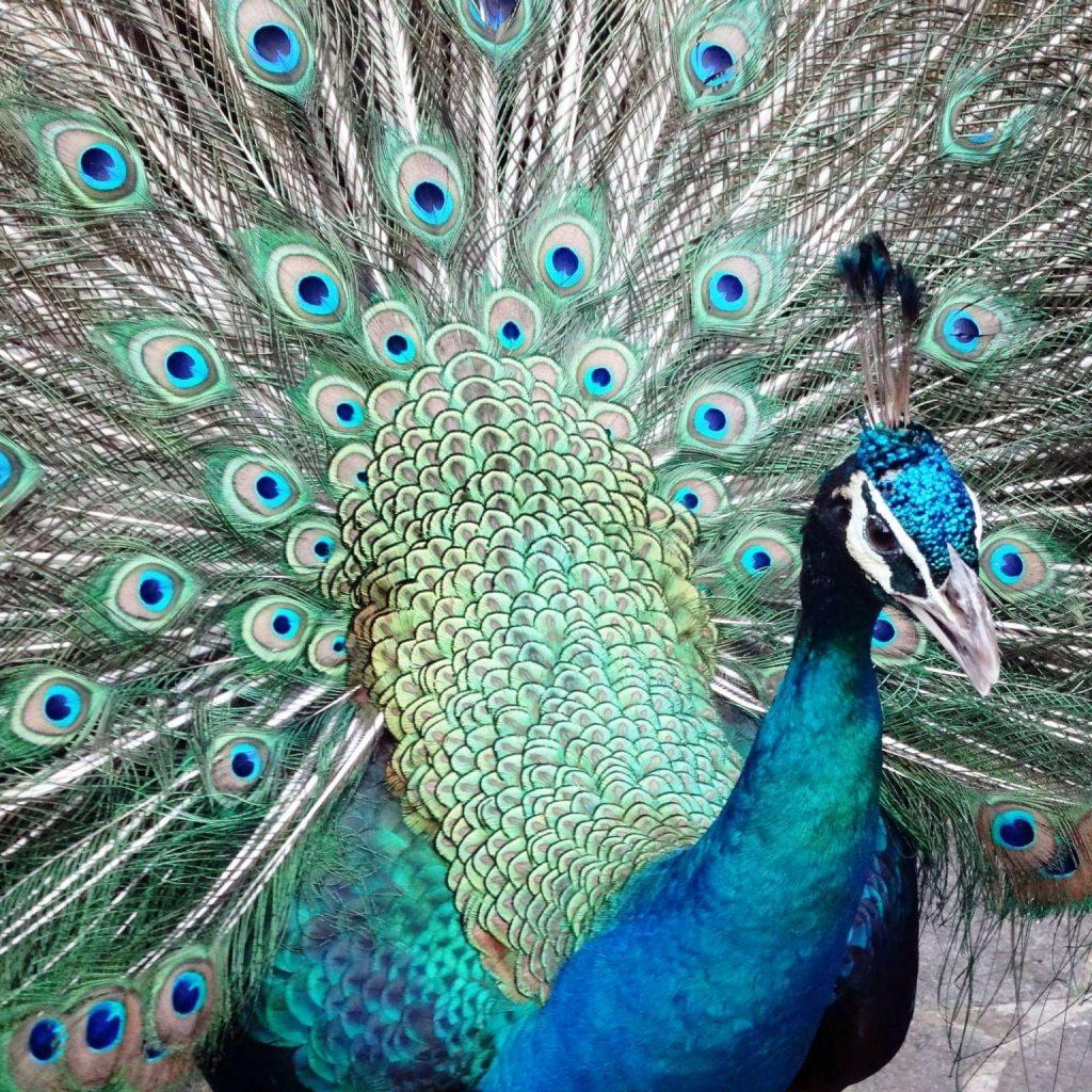 le paon est l'animal emblématique de l'Inde