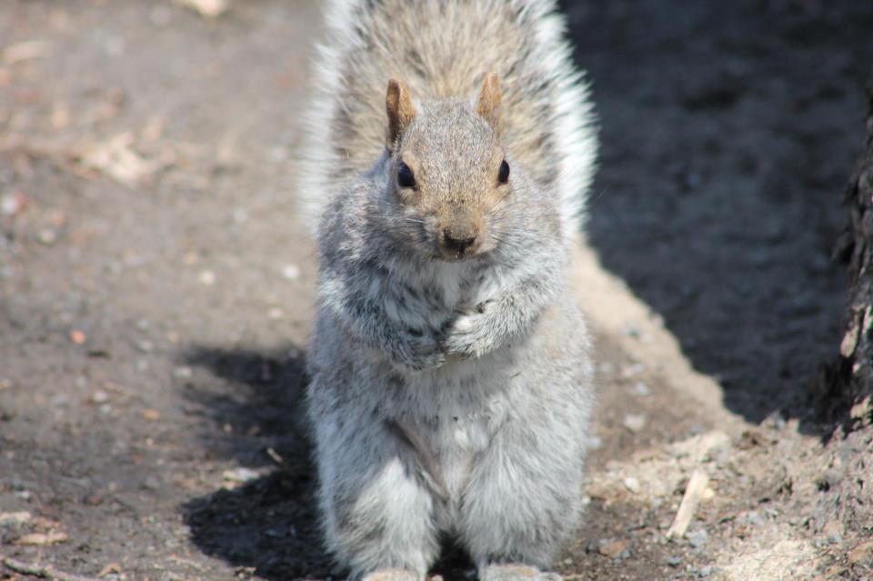un écureuil gris à Montréal