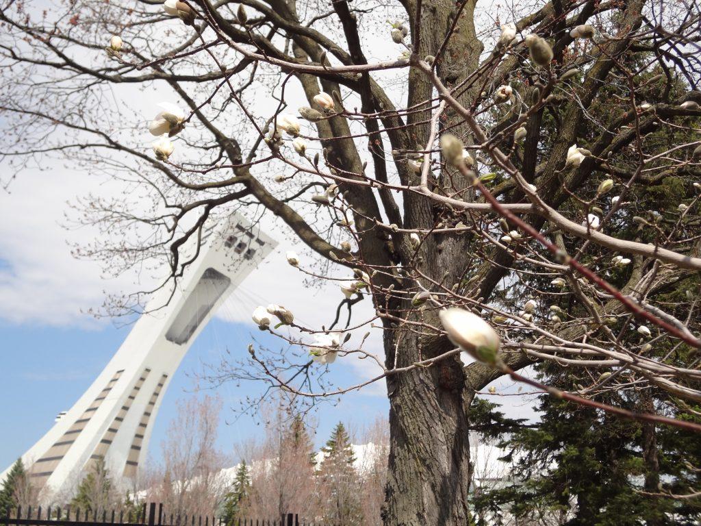 des bourgeons vont éclorent avec en arrière plan le stade olympique de Montréal