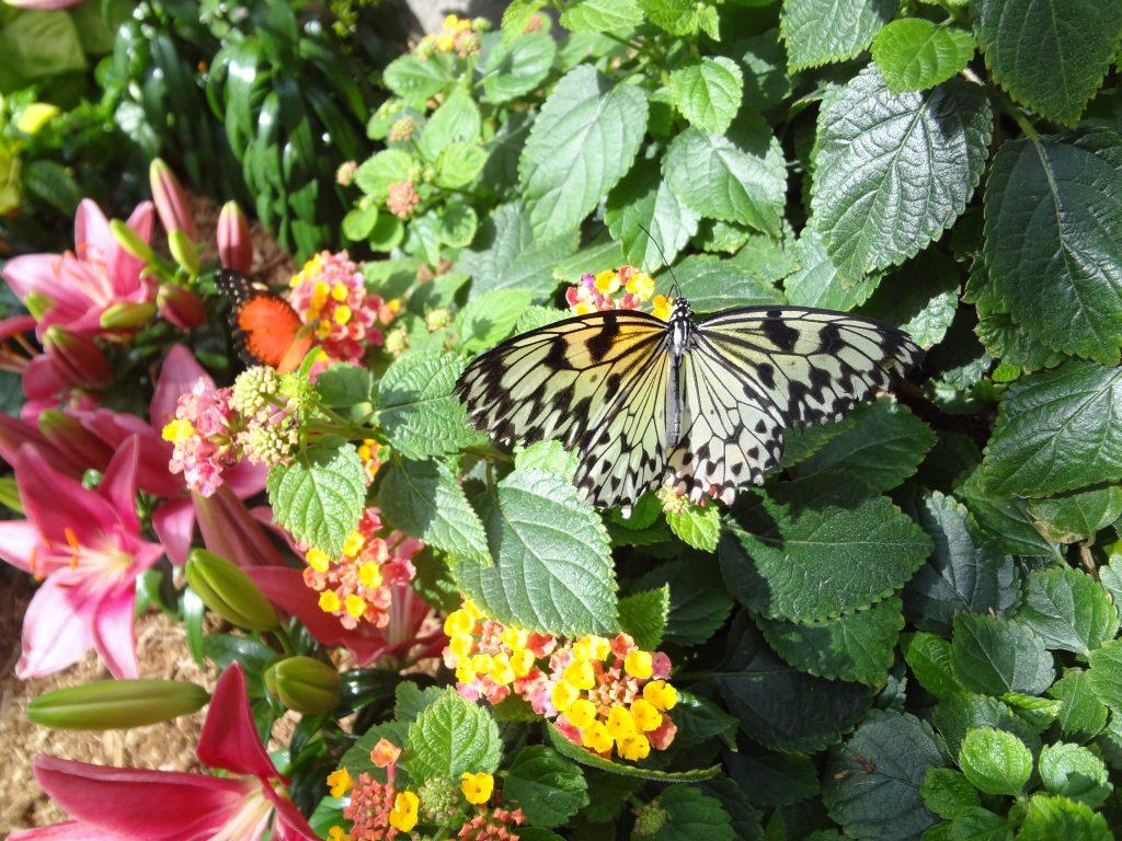 un papillon se pose sur des fleurs au jardin botanique de Montréal